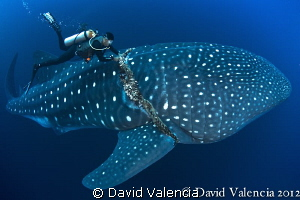 This divemaster frees a 35ft whale shark from a thick fis... by David Valencia 
